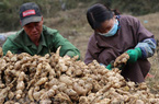 Loại củ ở Việt Nam chỉ trồng góc vườn, giá rẻ, sang Úc lên siêu thị sang chảnh, giá có lúc 850.000 đồng/kg