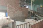 Bình Định: Lạ đời, vì sao nông dân ở đây rủ nhau nuôi heo trên gác lửng?