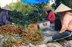 Nhãn chín rộ khắp trong Nam ngoài Bắc, nông dân trầy trật tìm cách vận chuyển đi tiêu thụ