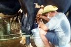 """Sóc Trăng: Hàng ngàn lít sữa bò không thể đưa đi tiêu thụ phải đổ bỏ, nông dân khẩn cấp xin """"luồng xanh"""""""