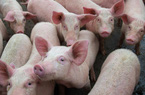 Trung Quốc ngăn chặn giá lợn hơi biến động mạnh
