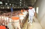 Lo đàn lợn 20.000 con... đói do thiếu thức ăn vì giãn cách xã hội, một công dân Thủ đô ưu tú kêu cứu