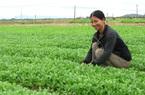 Nông dân Bình Định lan tỏa trồng rau an toàn theo tiêu chuẩn VietGAP