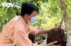 """Trà Vinh: Xót xa, mít Thái, xoài Đài Loan chín rụng đen vườn bởi """"đốt đuốc giữa ban ngày"""" cũng tìm không ra người mua"""