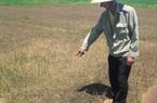 TT-Huế: Lúa chết rụi sau khi phun thuốc trừ cỏ nhãn hiệu Halosuper 250WP