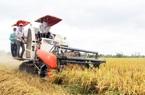 ĐBSCL: Lúa hè thu đầy đồng mà doanh nghiệp đang tồn kho lớn
