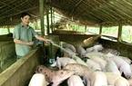 Quảng Bình: Nuôi lợn lãi hơn 700 triệu/năm, một ông nông dân miền núi xây nhà mới, mua xe hơi