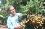 Ra vườn nhãn livestream, nông dân Hưng Yên bán hàng chục tấn nhãn lồng đặc sản