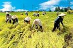 Được mùa rớt giá, Bộ NN&PTNT đề xuất tăng thu mua tạm trữ lúa Hè Thu