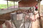 Chăn nuôi lợn an toàn sinh học theo hướng hữu cơ