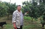 """Lạng Sơn: U60 dân tộc Tày """"liều"""" trồng thứ cam đặc sản của người Kinh, ai ngờ thu cả tỷ đồng mỗi năm"""