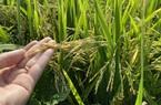 """Đất nhiễm mặn, thêm cả """"giặc""""… chuột, nông dân trồng lúa xứ dừa vẫn thắng lớn"""