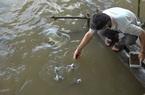 """An Giang: Kỳ lạ, đàn cá sông đông đúc bơi vào đoạn kênh """"đòi"""" ông nông dân chăm bẵm, cho ăn"""