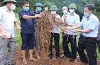 Bắc Giang: Trồng cây đặc sản có củ dài ngoằng, cứ 1ha trồng nông dân miền núi kiếm tiền tỷ không khó