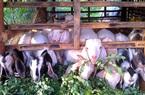 Ở nơi này, nông dân rủ nhau nuôi con tai dài, chỉ tốn cỏ, tốn lá mà nhà nào nuôi nhà đó khá giả