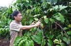 Thu quỹ bảo hiểm cà phê: Nông dân không được hưởng lợi