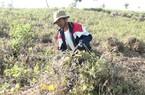 Huyện Sông Hinh (Phú Yên): Trúng mùa, trúng giá đậu đỏ
