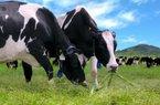 Trang trại bò sữa Vinamilk – điểm đến mới