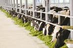 """""""Thiên đường"""" bò sữa đang nóng lên?"""