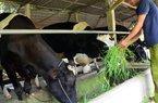 Về việc đề nghị Vinamilk thu mua sữa ở Củ Chi: Xuất phát từ đâu?