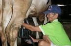 Chuyển 26% hộ nuôi bò lấy sữa sang nuôi bò thịt
