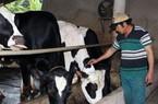 Thu tiền tỷ mỗi năm từ nuôi bò sữa