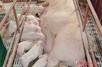 Bộ NN&PTNT: Hơn 500.000 con lợn nái đã bị loại thải