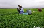 Kiếm tiền ở nông thôn: Chỉ trồng rau má mà cả làng này khấm khá