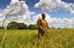 Đại gia châu Phi đổ tỷ đô vào trồng lúa, Nigeria sẽ dừng nhập gạo?