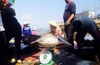 Đầu năm trúng đậm cá ngừ, mỗi tàu thu về hàng trăm triệu