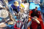 Đánh bắt xuyên tết, ngư dân Khánh Hòa trúng mỗi tàu vài trăm triệu