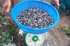 Giá cá tra giống tăng vọt lên 70.000 đồng/kg do giá cá tra tăng