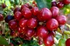Giá cà phê hôm nay 4/1 bỗng tăng nửa triệu/tấn, giá tiêu đứng im