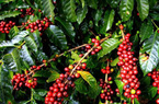 Giá cà phê hôm nay 7/1 giảm nhẹ, 3.500ha hồ tiêu chết rụi, nhà nông bất lực