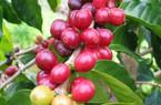 Giá cà phê hôm nay 12/1 hồi phục, nông dân lại mất ngàn tỉ vì giá tiêu giảm sốc, chết hàng loạt