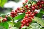 Giá cà phê hôm nay 17/1 bật tăng, giá tiêu tiếp tục lùi sâu
