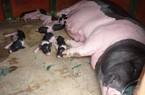 Người nuôi lợn đặc sản Móng Cái tự tin chống dịch tả lợn châu Phi