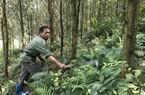 """Ngắm rừng keo xanh mướt, đàn dê béo khoẻ """"đẻ"""" ra tiền ở Na Sàng"""
