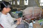 Con số đáng ngại: Lợn, gà ngốn hơn 1.000 tấn kháng sinh/năm