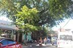 Cây Đa – Da Kèn, cây di sản giữa lòng phố cổ Hội An