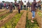 Khách Tây háo hức thi trồng rau, cấy cải ở Lễ hội Cầu Bông Trà Quế