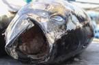Bình Định: Bất ngờ giá cá ngừ đại dương chỉ còn 100.000 đồng/kg