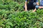Bỏ củ sắn để trồng củ khác nhỏ hơn nhiều, ai ngờ thu nhập tăng gấp bội