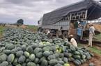 Gia Lai: Sẽ xuất khẩu dưa hấu sang Campuchia