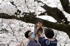 Người dân Nhật Bản vẫn đổ xô đi ngắm hoa anh đào giữa dịch Covid-19