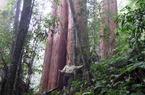 Chiêm ngưỡng cây Sa mu dầu quý hiếm hơn 2.000 tuổi