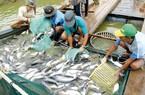 Kiến nghị lùi thời điểm áp dụng nghị định về cá tra