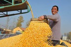 Liên tục tăng sản lượng lương thực, một số nơi ởTrung Quốc thiếu kho chứa