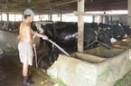 Bò sữa tắc đầu ra: Không chỉ có lỗi của nông dân