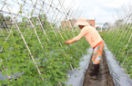 Người trồng rau VietGAP được hỗ trợ thế nào?